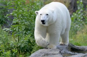 Eisbärin Nora ist nun erstmals stolze Mutter. Foto: Norbert Potensky