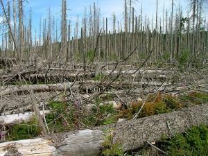 """In den 1980er Jahren hieß es beim Anblick eines solchen Fotos, dass dies dem """"sauren Regen"""" zu verdanken ist. Heute hinterlässt der Borkenkäfer – dem Klimawandel sei Dank – ein ähnliches Sterbebild heimischer Wälder. Foto: Kurt Seebauer"""