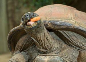 Riesenschildkröte Schurli. Foto: Daniel Zupanc