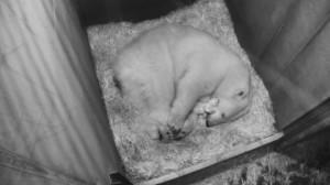 Eisbären-Nachwuchs im Zoo Wien. Foto: Tiergarten Schönbrunn