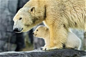 Eisbären Nachwuchs im Zoo Wien. Foto: Daniel Zupanc