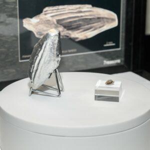 Der Sensationsfund Pliosaurier-Zahn in der NHM-Vitrine. Foto: © NHM Wien, Christina Rittmannsperger