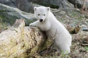 Eisbär-Jungtier Foto: Daniel Zupanc
