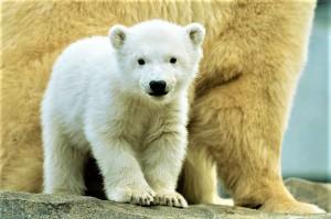Eisbär Mädchen Finja. Foto © Daniel Zupanc