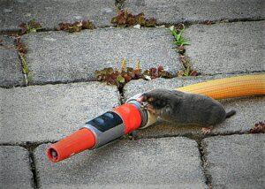 Es ist schier unmöglich, den Maulwurf, diesen kleinen Gruben-Arbeiter zu Gesicht zu bekommen. Ab und an gelingt es aber doch. Foto: © oepb