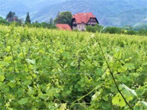 """Blick auf und in einen Weingarten in der niederösterreichischen Wachau bei Dürnstein. Alles in allem ist man mit dem """"2019er Jahrgang"""" sehr zufrieden. Foto: © oepb"""