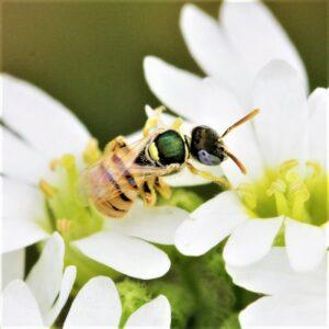 Auch jetzt bietet der Standort schon einigen besonderen Wildbienen-Arten einen Lebensraum, wie beispielsweise dem Dünen-Steppenbienchen Nomioides minutissimus, das mit etwa 3mm Körpergröße die kleinste Bienen-Art Österreichs ist. Foto: © Sylvia Wanzenböck
