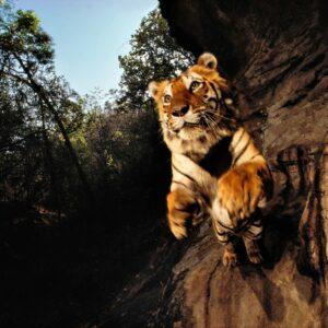 Tiger Foto: © Michael Nick Nichols