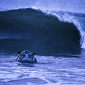 Surfing Hippo. Foto: © Michael Nick Nichols