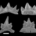 138 Millionen Jahre alte Zähne der neuen österreichischen Haifischarten Cretacladoides ogiveformis, Natarapax trivortex, Similiteroscyllium iniquus und Altusmirus triquetrus entdeckt, Maßstab 100 µm. Foto: © NHM Wien
