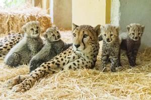 Geparden-Nachwuchs im Wiener Tiergarten Schönbrunn. Foto: © Daniel Zupanc