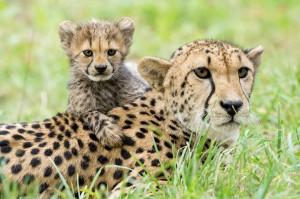Geparden Foto: © Daniel Zupanc