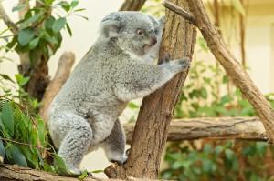 Koala-Weibchen Bunji. Foto: © Daniel Zupanc