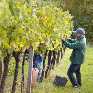 Österreichs Winzer sind bereit, sehr gesundes Traubenmaterial zu ernten. Foto: © ÖWM / Manuel Zauner
