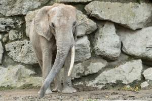 Drumbo nimmt Abschied vom Zoo Wien. Foto: © Daniel Zupanc
