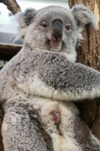 Koala Jungtier im Zoo Wien. Foto: © Simona Gabrisova