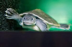 Jungtier Batagur Flussschildkröte. Foto: © Norbert Potensky