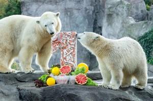 Mutter Nora feiert mit Eisbärin Fink deren 1. Geburtstag. Foto: © Daniel Zupanc