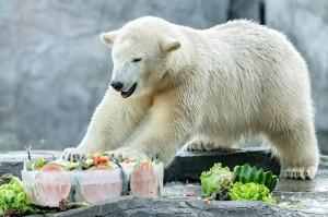 Heutiges Geburtstagskind, die Eisbärin Finja im Zoo Wien