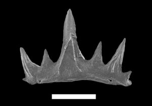 Cretacladoides noricum. Foto:  © NHM Wien